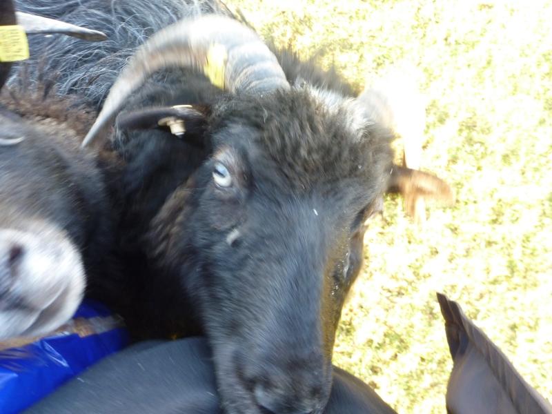aufdringliches Schaf
