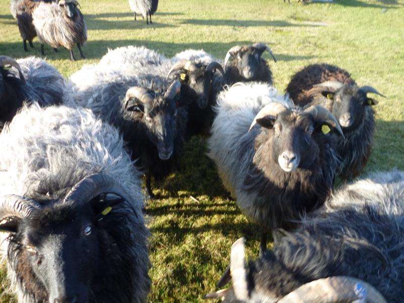Schaf in scharen