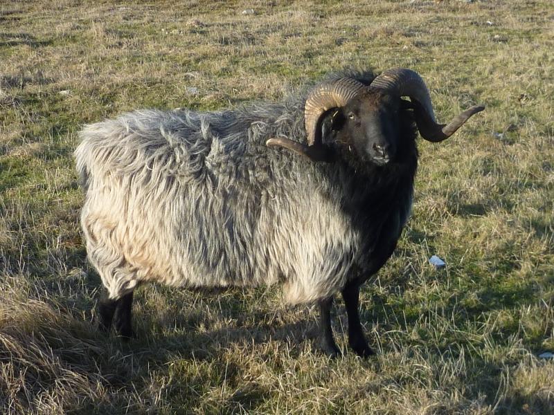 Edelmütiges älteres Schaf