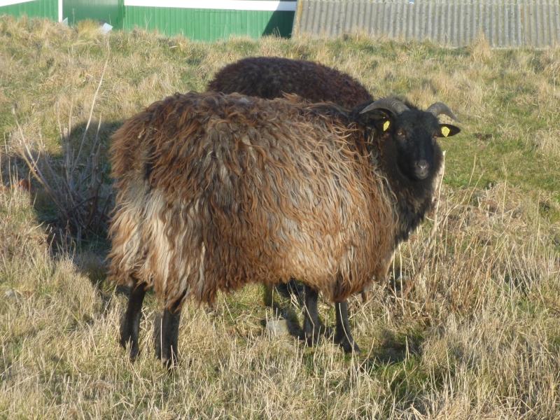 junges Schaf - noch etwas schüchtern